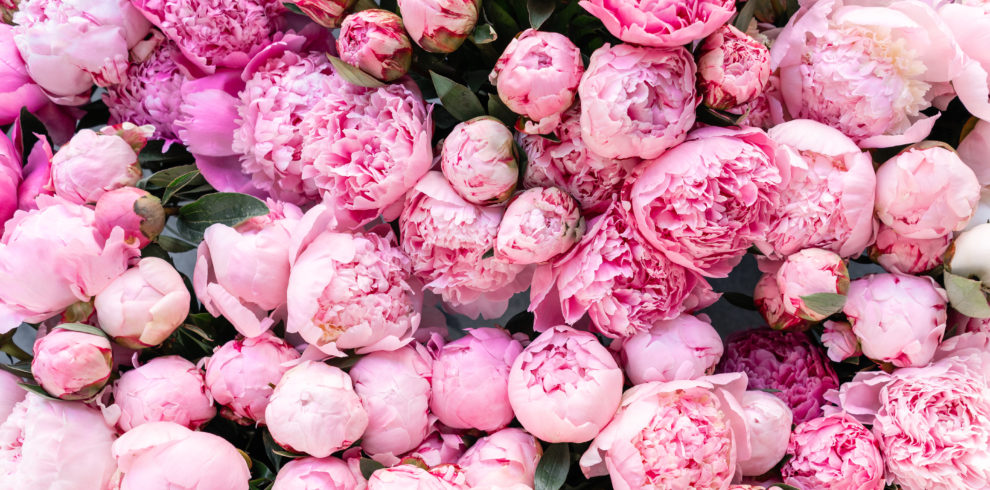 Floral Carpet Or Wallpaper. Background Of Pink Peonies. Morning
