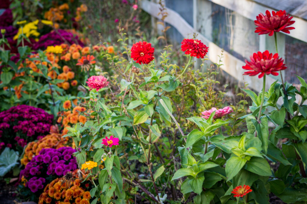Mums And Other Flowers Blooming In The Childrens Garden At The F