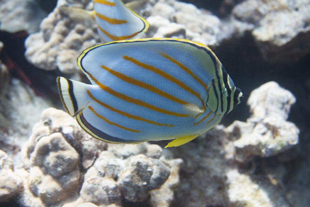 Ornate Butterflyfish On Coral Reef Off Kona, The Big Island, Haw