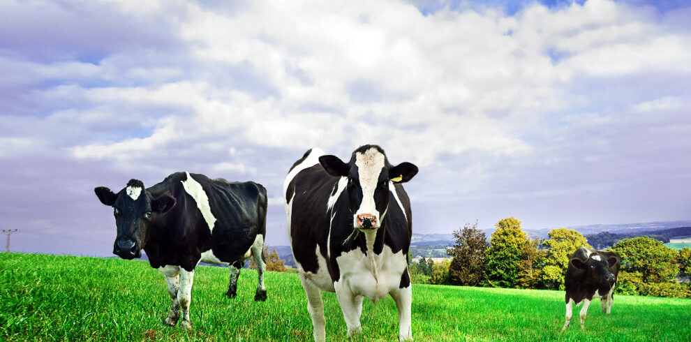 Friesian/Holstein dairy cows.